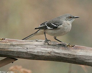 Northern Mocking Bird gallery image