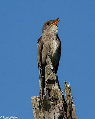 Olive-sided Flycatcher gallery image