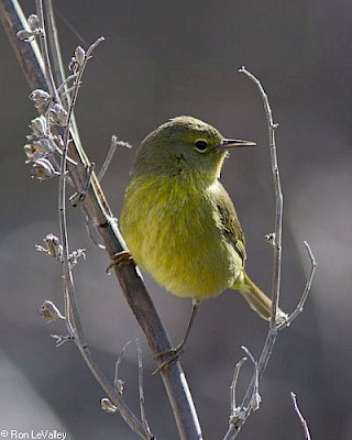 Orange-crowned Warbler gallery image