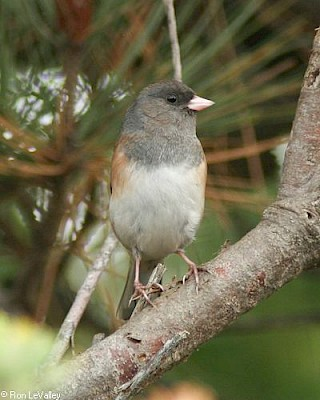 Oregon Junco (female) gallery image
