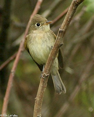 Pacific Slope Flycatcher gallery image