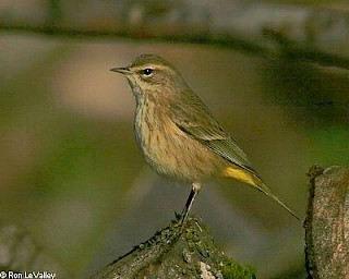 Palm Warbler gallery image