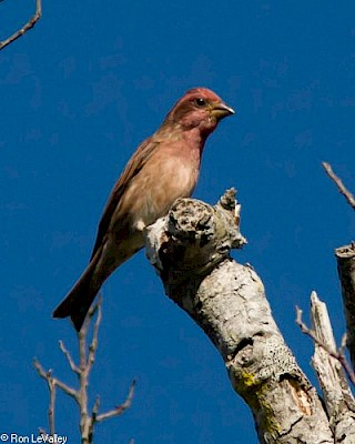 Purple Finch (male) gallery image