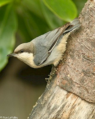Pygmy Nuthatch gallery image
