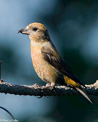 Red Crossbill (female) gallery image