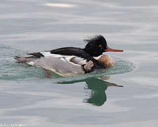 Red-breasted Merganser (male) gallery image