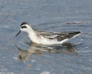 Red-necked Phalarope (winter plummage) gallery image