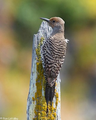 Red-shafted Flicker (female) gallery image