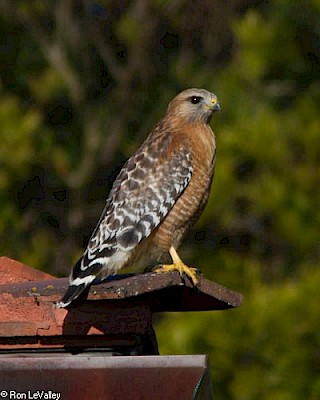 Red-shouldered Hawk gallery image