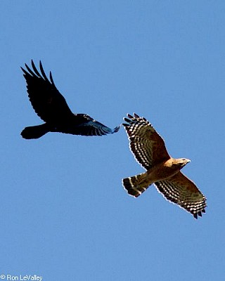 Red-shouldered Hawk (in flight with Common Raven) gallery image