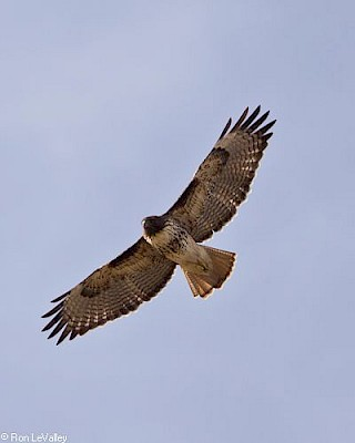 Red-tailed Hawk (in flight) gallery image