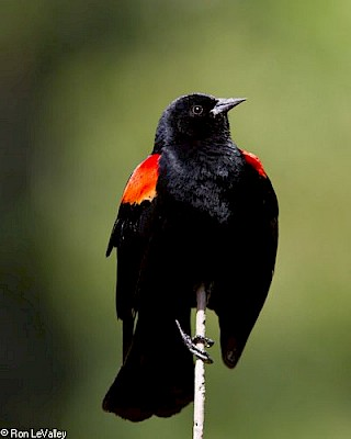 Red-winged Blackbird (male) gallery image