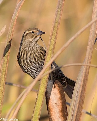 Red-winged Blackbird (female) gallery image