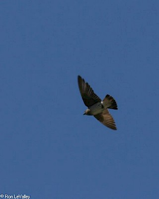 Rough-winged Swallow gallery image