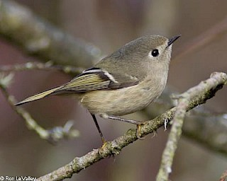 Ruby-crowned Kinglet gallery image