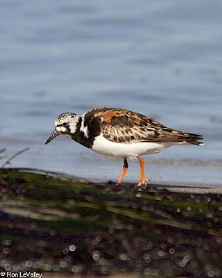 Ruddy Turnstone gallery image