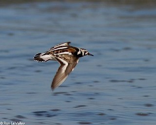 Ruddy Turnstone (in flight) gallery image