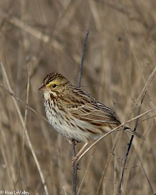 Savannah Sparrow gallery image