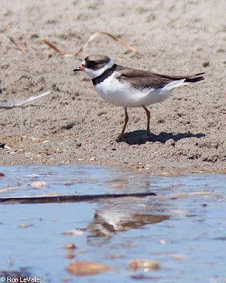 Semipalmated Plover (adult) gallery image