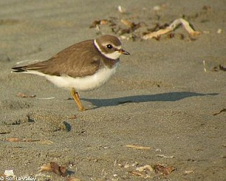 Semipalmated Plover (juvenile) gallery image