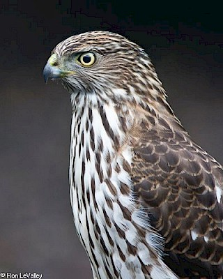 Sharp-shinned Hawk gallery image