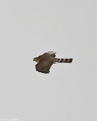 Sharp-shinned Hawk (in flight) gallery image