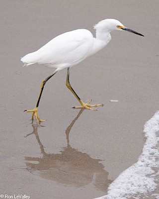 Snowy Egret gallery image