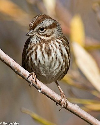 Song Sparrow gallery image
