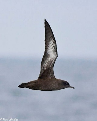 Sooty Shearwater gallery image