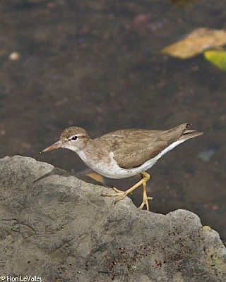 Spotted Sandpiper gallery image