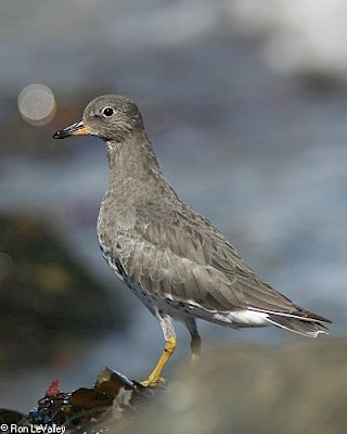 Surfbird gallery image
