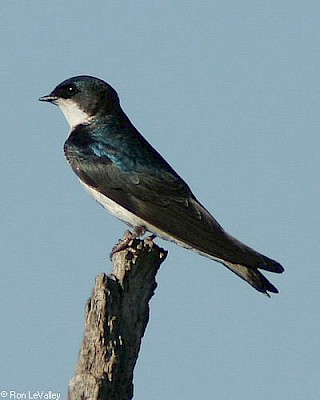Tree Swallow gallery image