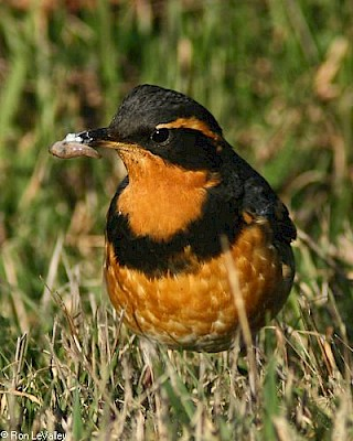 Varied Thrush (male) gallery image