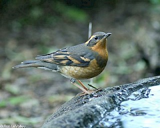 Varied Thrush (female) gallery image