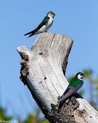 Violet-green Swallow gallery image