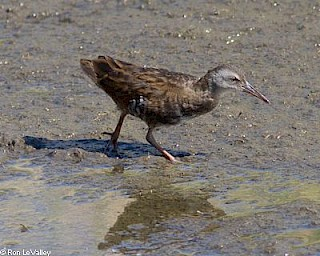Virginia Rail gallery image