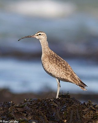 Whimbrel gallery image