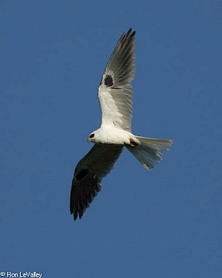 White-tailed Kite gallery image