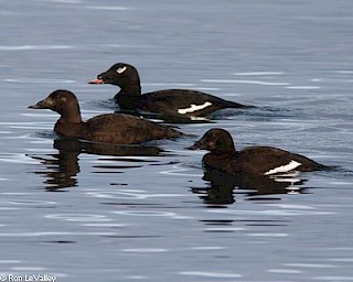 White-winged Scoter gallery image