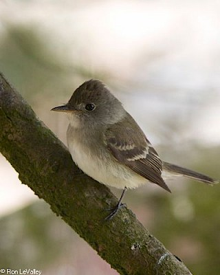 Willow Flycatcher gallery image