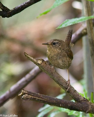Winter Wren gallery image
