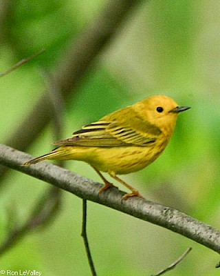 Yellow Warbler gallery image
