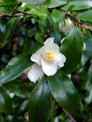 Camellia forrestii gallery image