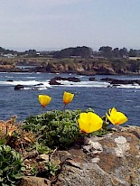 California poppy gallery image