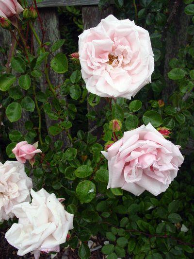 Heritage Rose Garden Photo Galleries Mcbg Inc 2020