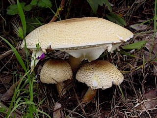 Agaricus agustus, the Prince gallery image