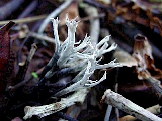 Xylaria hypoxylon, candlesnuff fungus gallery image