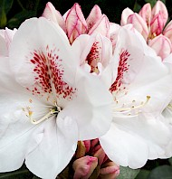 thumbnail Rhododendron