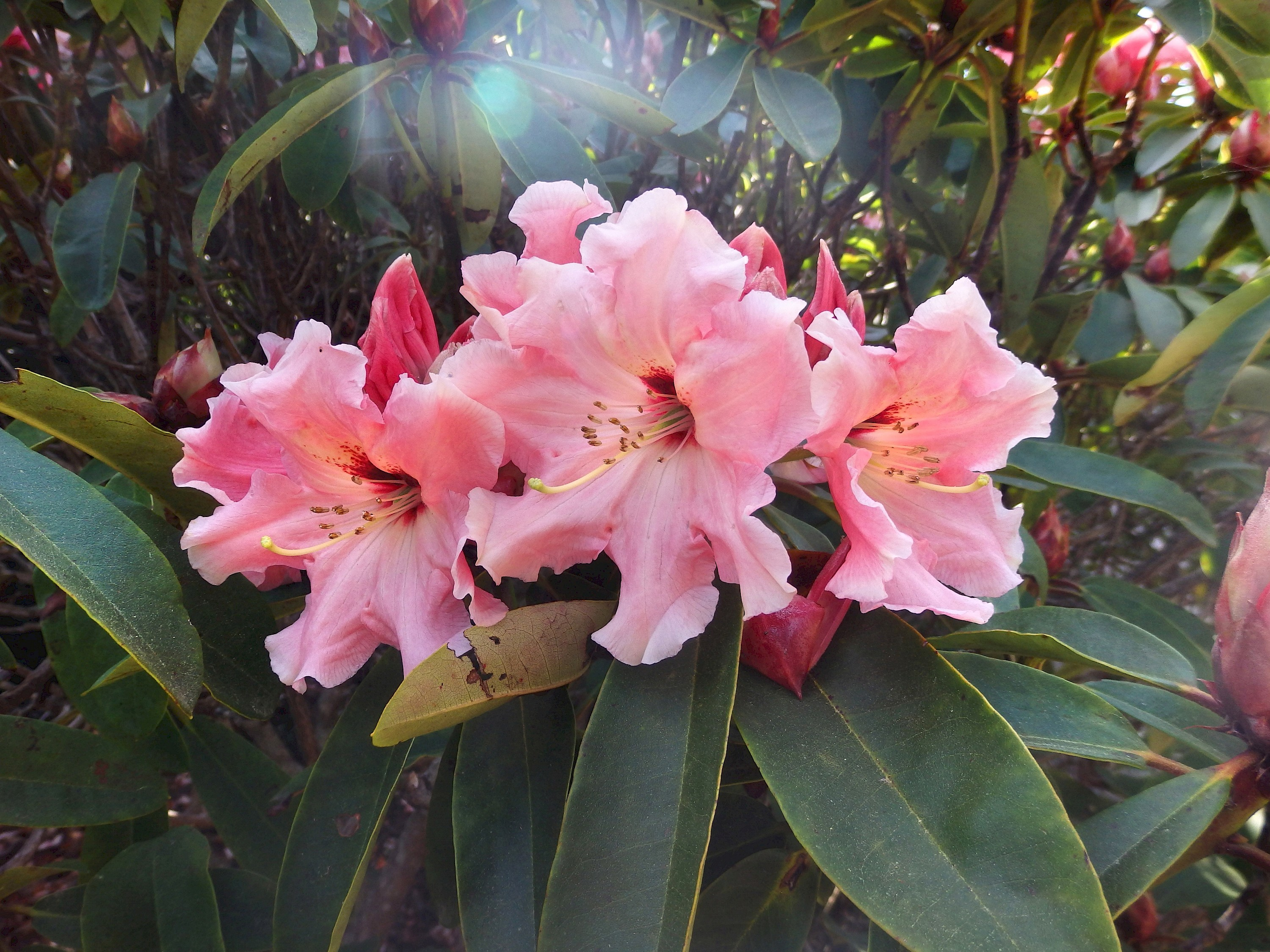 Rhododendrons Photo Galleries Mcbg Inc 2020 Fort Bragg