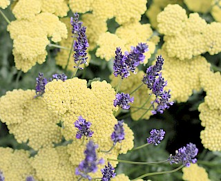 Medicinal herbs - lavender and yarrow gallery image